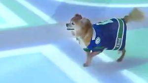 «Ванкувер» устроил собачьи бега нальду вовремя матча с«Миннесотой»: видео