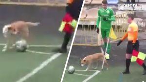 В чемпионате Украины собака мешала футболисту исполнить угловой удар: видео